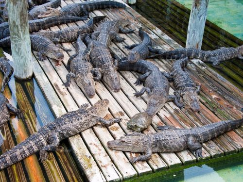 A father and son got stuck on a zip line dangling 40 feet above an alligator pit