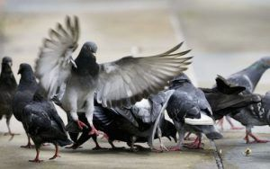 5,000 pigeons to be exiled by Cadiz in Spain