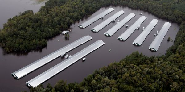 At least 1.7 million chickens drowned in Hurricane Florence's floodwaters