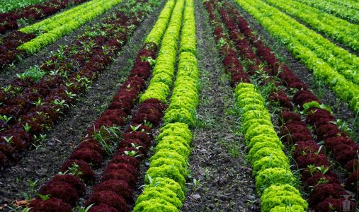 E. coli outbreak from Arizona lettuce expands