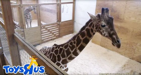 It's Going Down, Ya'll! April the Giraffe Will Be Giving Birth to Calf No. 5 Any Day Now