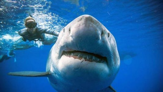 Watch: Legendary great white shark, 'Deep Blue,' filmed swimming with divers