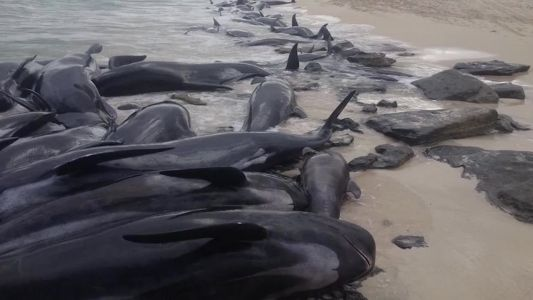 Most of over 150 beached whales die on Australian beach