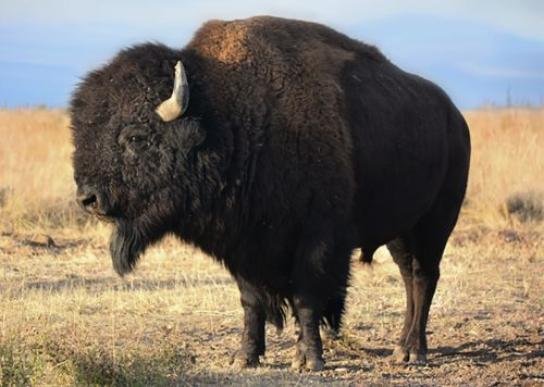 Man gored by bison during SoCal camping trip