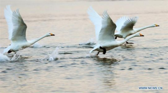 Swans seen in Rongcheng national swan nature reserve
