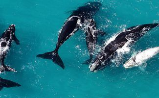 Hervey Bay and Bluff accorded International Whale Heritage Site status
