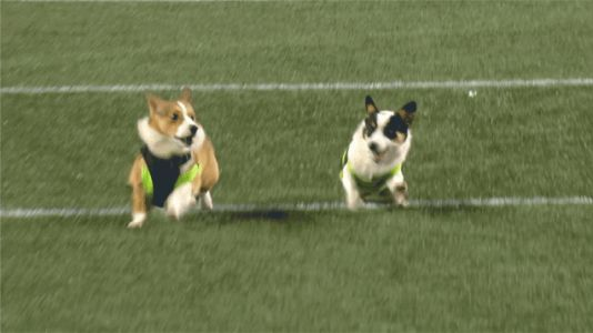 Napoleon The Racing Corgi Crushes All Challengers, Is A Very Good Boy