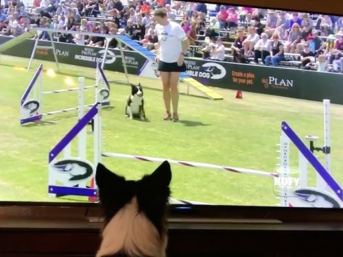 Watching this border collie watch herself win the 2017 Purina Pro Challenge on TV will make your day