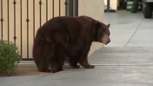 WATCH: Bear wanders through California neighborhood