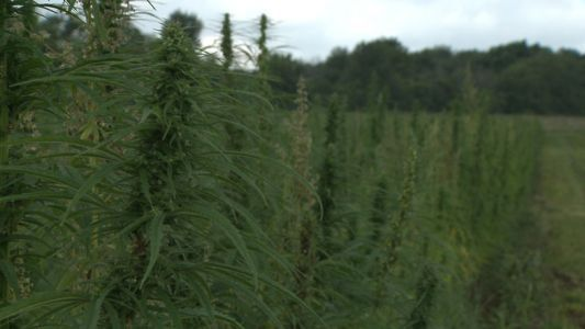 Some Wisconsin farmers have high hopes that hemp will save their business