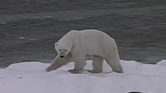 Photographer's 'soul-crushing' video of starving polar bear goes viral
