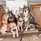 I'd Very Much Like to Be the Ninth Member of This Husky Pack - Where Can I Sign Up?