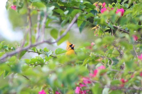 'One in a million': Incredibly rare yellow cardinal spotted in Florida
