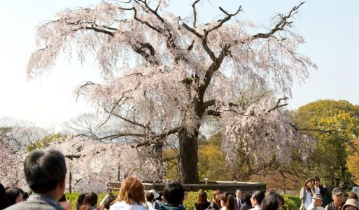 7 Best Spots for Seeing Cherry Blossoms in Kyoto