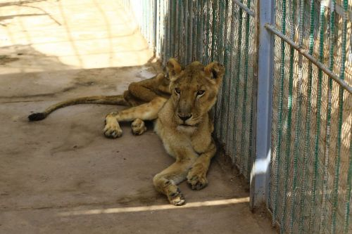 Horrifying images of starving lions in a Sudan zoo has prompted a worldwide campaign to save them