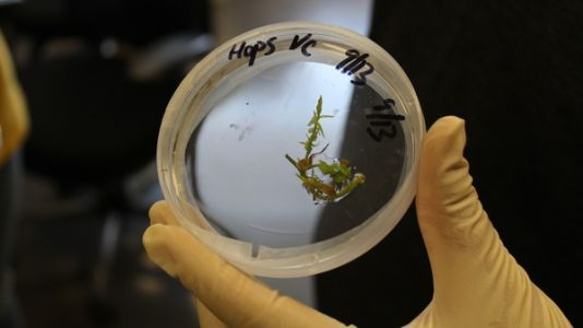 Can Science Change The Mildewed Fortunes Of New York Heritage Hops?