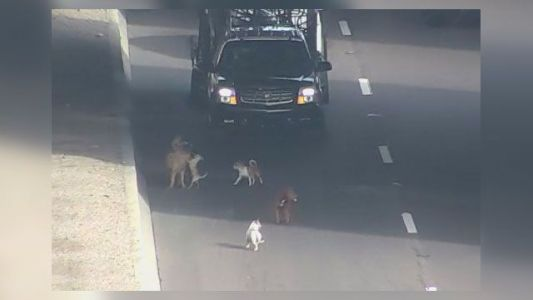 Watch: Pack of stray dogs run loose on highway, tie up traffic during rush hour