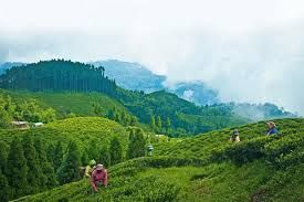Sikkim government encourages the potential of tea tourism