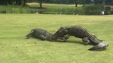 Alligators Fight On Golf Course's 18th Hole. It Must Have Been A Tense Round