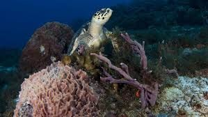 Coral Reef to get insured for the first time in the world