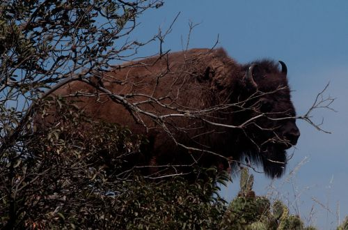 Buffalo gores camper on Southern California island