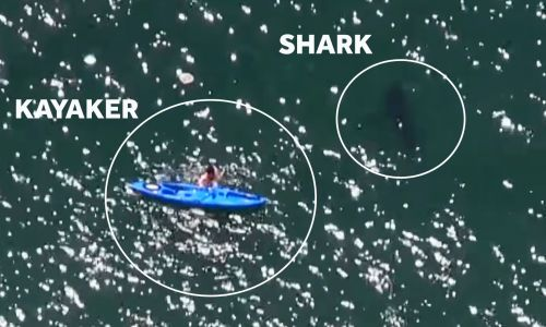 Terrifying video: Kayaker falls into water with great white shark
