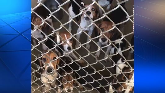 Animal welfare workers save 71 beagles crammed in small Pennsylvania home
