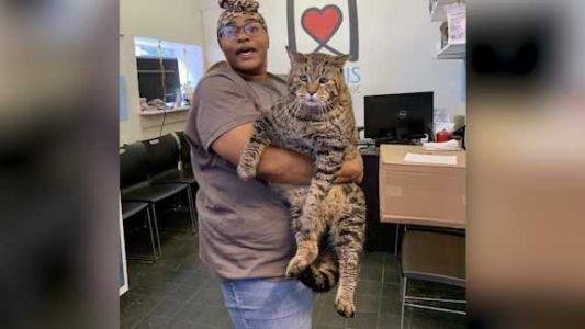 Giant 26-pound cat looking for 'purrfect' home