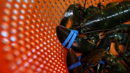 Maine Asks Restaurant To Stop Giving Lobsters Cannabis Before Boiling Them