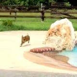 This Baby Pig Running Around a Pool to Her Owner Is the Cutest Thing I've Seen All Day