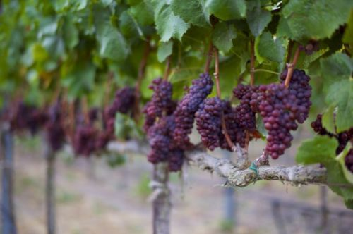 Saturday Food Section: How California's Fires Could Affect the Wine You Drink