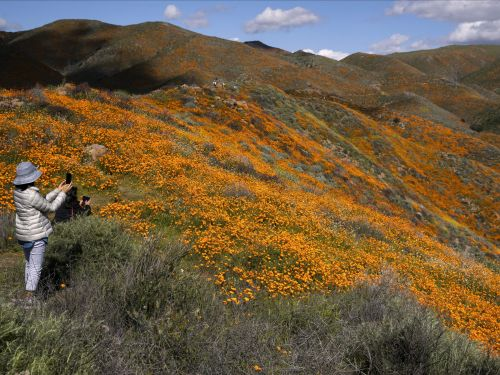A city in California has found itself in a 'Poppy Apocalypse' after 'Disneyland sized crowds' descended upon the fields to take selfies