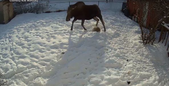 Surveillance camera captures moose stomping dog in backyard