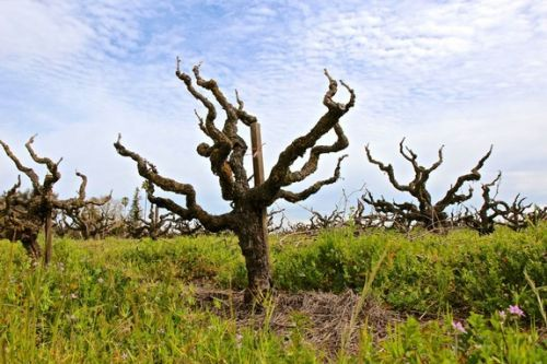 The past, present and future usages of head trained vines in Lodi