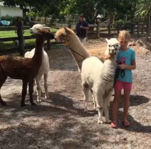 3 chickens, 2 alpacas, pig, and duck needed a place to stay after Irma