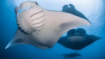 Meaningful Manta Connections at Four Seasons Resort Maldives at Landaa Giraavaru