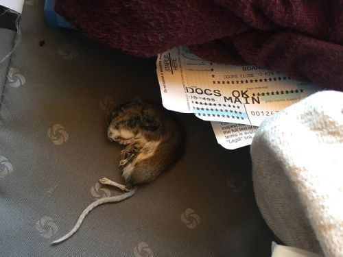 An American Airlines passenger found a dead rat in her luggage after flight and claims she was told to burn the bag due to concerns about the bubonic plague