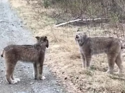 A hilarious video of lynx yelling at each other sounds like 2 people in an intense debate