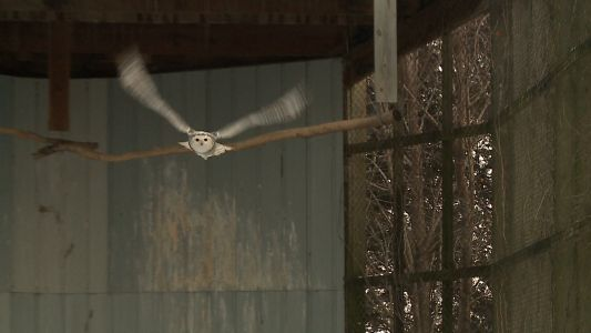 Snowy owl soars again thanks to volunteers and Iowa mother