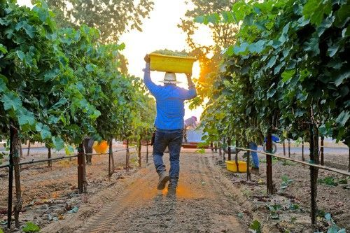 'Normal' Growing Season in Lodi Could Make for an Epic Vintage