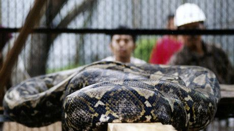 Woman cut from belly of giant python after she was eaten alive