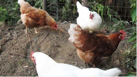 Backyard chickens blamed for illness outbreak in 43 states, CDC says