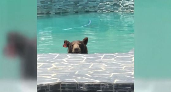 Wild video: Bear caught taking a dip in family's swimming pool