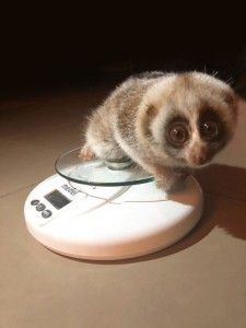 A First Class Rescue Effort From British Airways For Slow Loris, Nora
