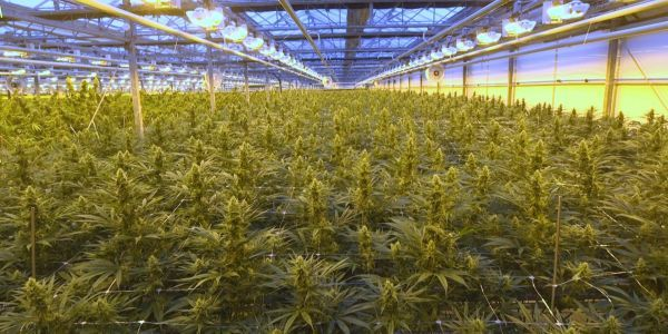 Notorious cannabis producer CannTrust will destroy $77 million of weed inventory and plants to gain regulatory approval