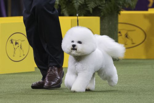 Meet the dog named Best in Show at this year's Westminster Dog Show
