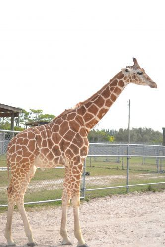 Two giraffes killed after being struck by lightning at Florida safari facility