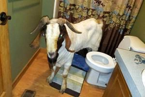 Your daily 6: Goat rams into home for nap, Nobel awarded for lithium-ion batteries, Alabama capital elects first black mayor