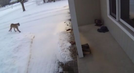 Security video shows large cougar approaching Wisconsin home