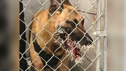 Police K-9 gets stuck with more than 200 porcupine quills during pursuit